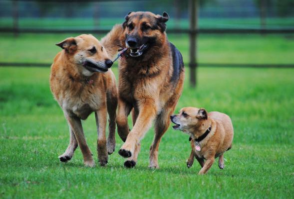 Drei Hunde spielen und streiten um Ast