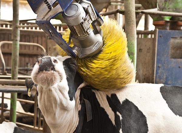 Eine Kuh genießt es, gebürstet zu werden